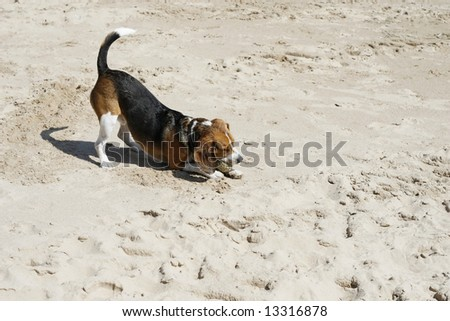 Adorable beagle playing with a ball in the sand - stock photo
