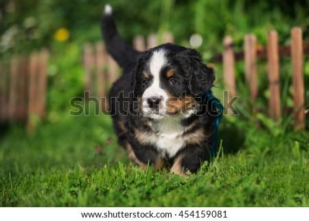 adorable bernese mountain dog puppy outdoors - stock photo