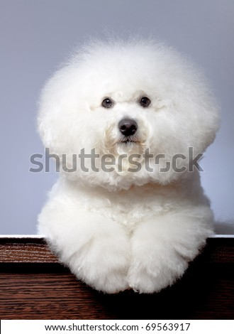 adorable bichon frise sitting in front of a grey background - stock photo