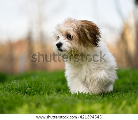 Adorable bishon laying on the grass - stock photo
