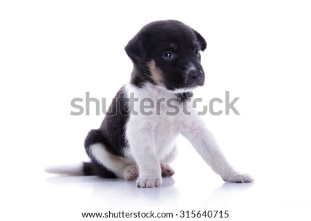 Adorable black and white colored puppy dog sitting with sad face, isolated on white background - stock photo