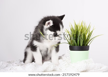 Adorable black and white Husky puppy. Studio shot. - stock photo