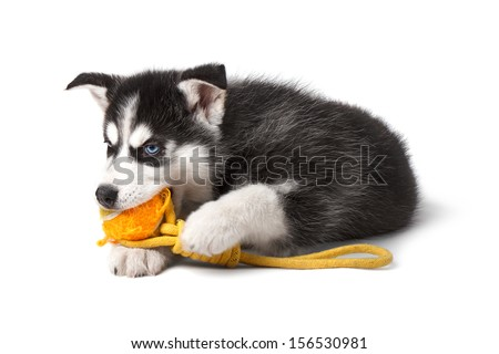 Adorable black and white with blue eyes Husky puppy chewing a toy. Isolated on white background. - stock photo
