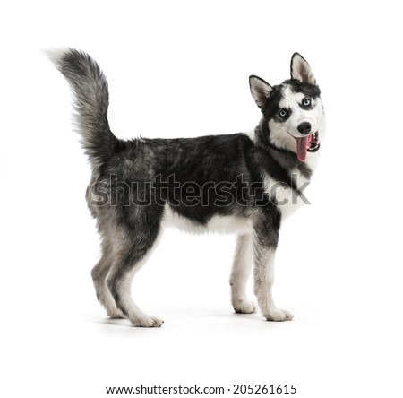 Adorable black and white with blue eyes Husky puppy. Studio shot. Isolated on white background. - stock photo