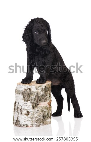 adorable black curly puppy - stock photo