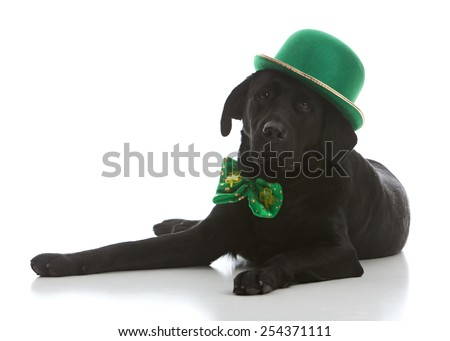 Adorable black labrador retriever dressed for St. Patrick's Day. - stock photo