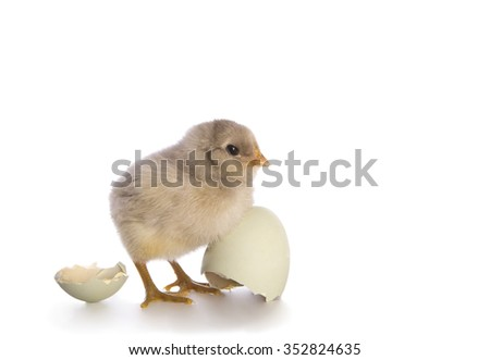 Adorable blue Ameraucana chick just hatched with egg shell isolated on white background - stock photo
