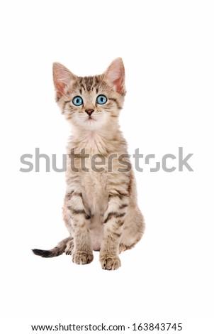 Adorable blue eyed kitten sitting on white - stock photo