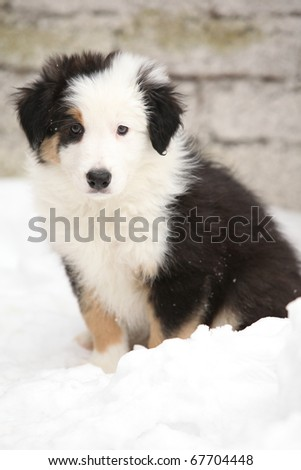 Adorable Border collie puppy in winter - stock photo
