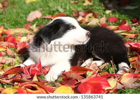 Adorable border collie puppy lying in red leaves in autumn - stock photo