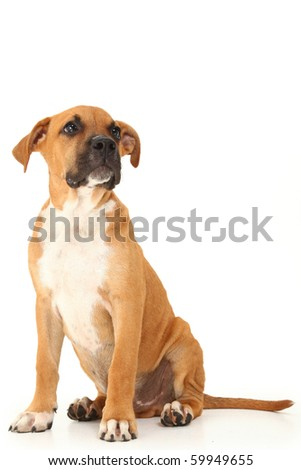 Adorable boxer puppy sitting and looking to side over white background.