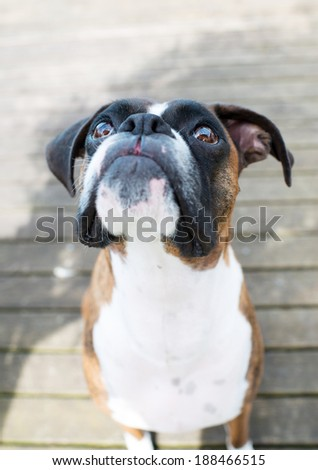Adorable Brindle Boxer Dog Outside Looking up while sitting on  Wooden Deck During Warm Sunny Weather - stock photo