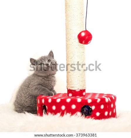 Adorable british little kitten posing - stock photo