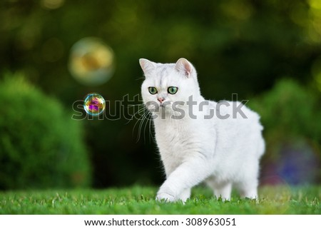 adorable british shorthair cat outdoors in summer - stock photo
