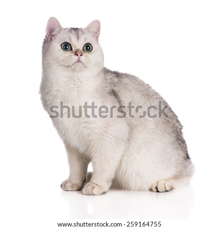 adorable british shorthair kitten - stock photo