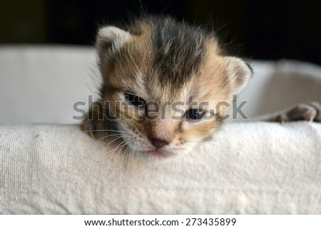 Adorable brown Calico tabby kitten peeking over the edge of a linen basket - stock photo