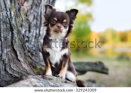adorable brown chihuahua dog outdoors