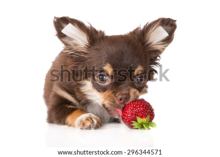 adorable brown chihuahua puppy eating a strawberry - stock photo