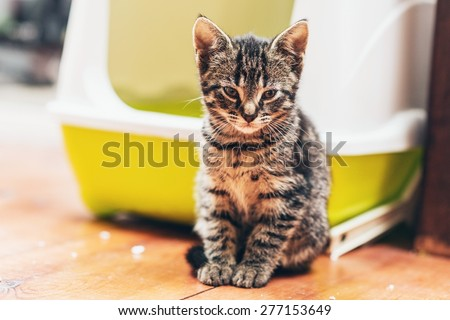 Adorable brown European kitten looking at camera while sitting on the wooden parquet floor in front of a plastic yellow and white covered litter box or bed for cats kept indoors - stock photo
