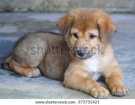 Adorable Brown Puppy Dog Lying on the Ground  - stock photo