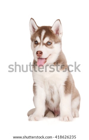 adorable brown siberian husky puppy - stock photo
