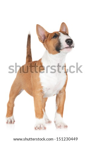 adorable bull terrier puppy looks curious - stock photo