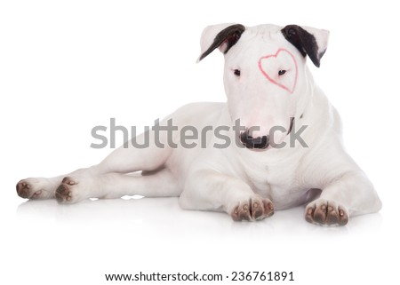 adorable bull terrier puppy with a drawn heart - stock photo