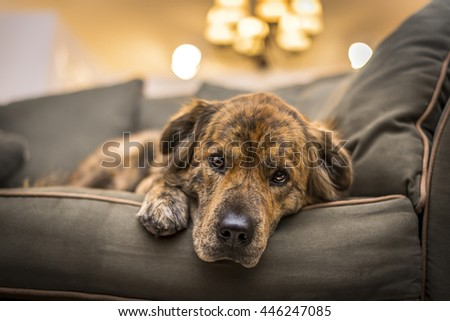 Adorable, but sad and lonely dog laying down on the sofa. - stock photo