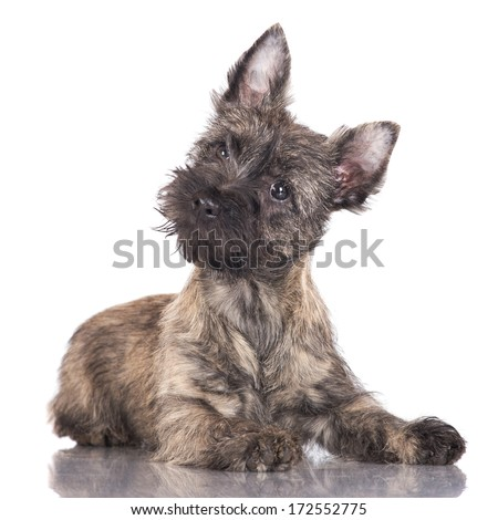 adorable cairn terrier puppy - stock photo