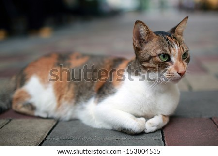 adorable Calico cat lying on the street , calico,paw, puss, feline, striped - stock photo