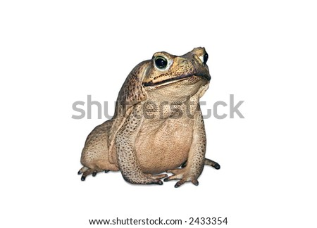 Adorable Cane Toad is friendly to humans - stock photo