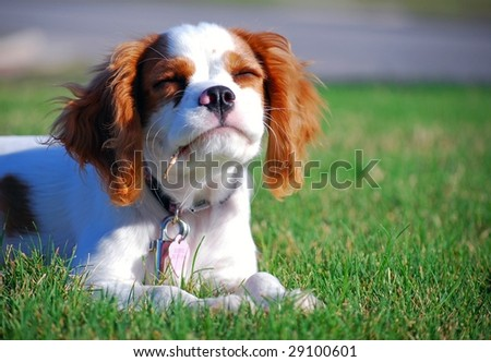 Most Inspiring Cavalier Canine Adorable Dog - stock-photo-adorable-cavalier-king-charles-puppy-in-the-grass-29100601  Gallery_201417  .jpg