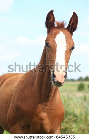 Adorable chestnut foal with white stripe on the head - stock photo