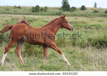 Adorable chestnut foal with white stripe on the head running on the field - stock photo
