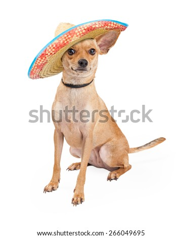 Adorable Chihuahua breed dog wearing a big Mexican sombrero  - stock photo