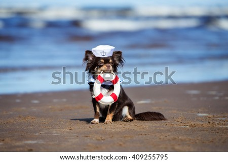 adorable chihuahua dog holding a life buoy on a beach