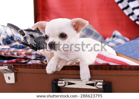 Adorable chihuahua dog in suitcase with clothing close up - stock photo