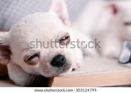 Adorable chihuahua dogs with book on sofa - stock photo