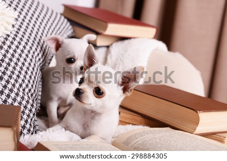 Adorable chihuahua dogs with books on sofa - stock photo