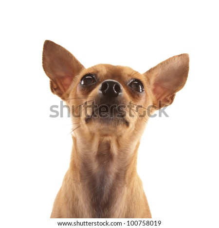 Adorable Chihuahua isolated on white