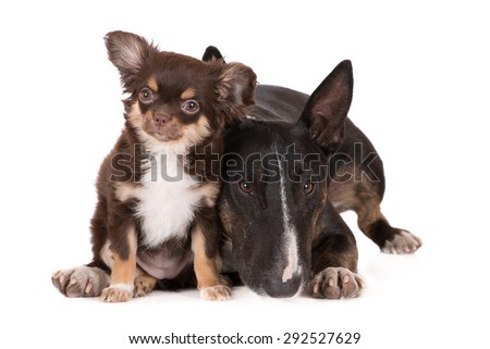 adorable chihuahua puppy and a bull terrier dog - stock photo