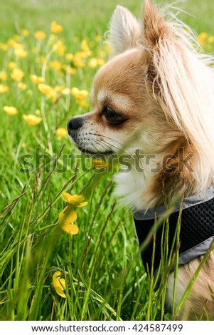 Adorable Chihuahua puppy dog isolated domestic pet in field of wild flowers - stock photo