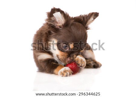 adorable chihuahua puppy eating a strawberry - stock photo