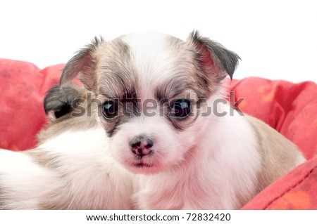 adorable Chihuahua puppy in a red pet bed close-up on white background - stock photo