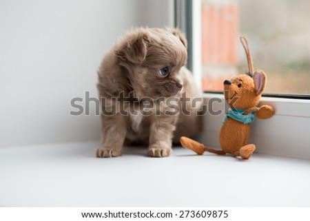 Adorable chihuahua puppy sitting on the windowsill with toy.  - stock photo