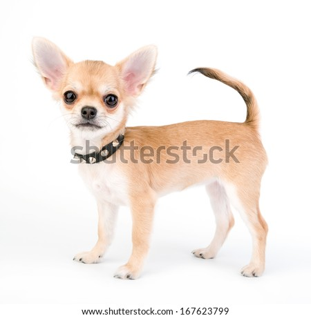 adorable Chihuahua puppy with black leather studded collar standing on white background