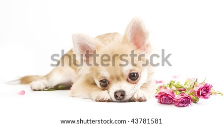adorable chihuahua puppy with roses - stock photo
