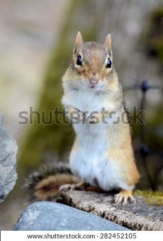 Adorable chipmunk standing on a rock wall