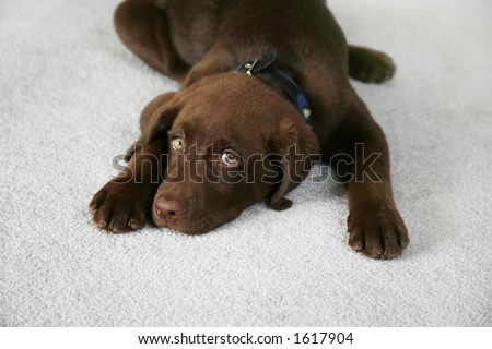 Adorable Chocolate Labrador Retriever Puppy - stock photo
