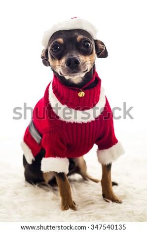 Adorable Christmas dressed Pincher dog - stock photo